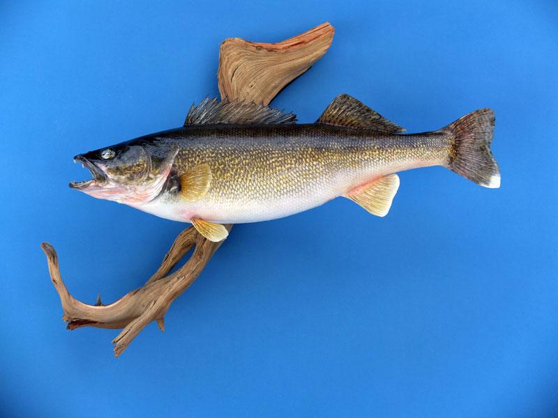 All american taxidermy taxidermy gallery taxidermy for Fish taxidermy prices
